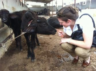 Buffalo Milk in India Indian Milk Buffalo Farm